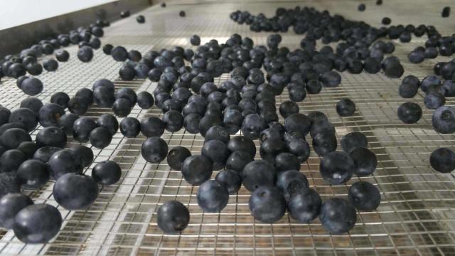 主牧安热泵烘干机助力蓝莓果干制造业提升品质